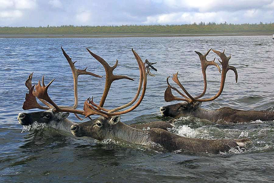 caribou_swimming